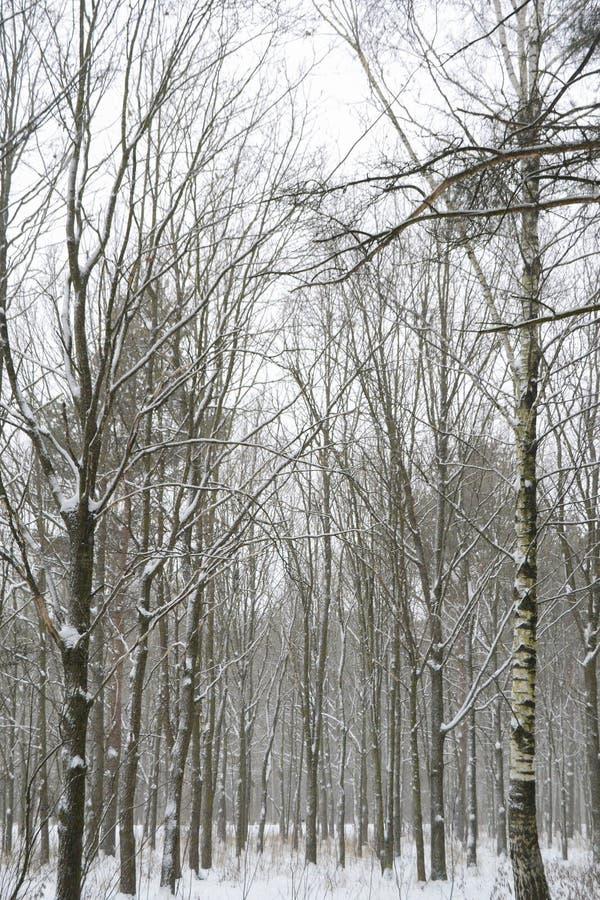 Vinterlandskap med kala träd i en snöig skog arkivbilder