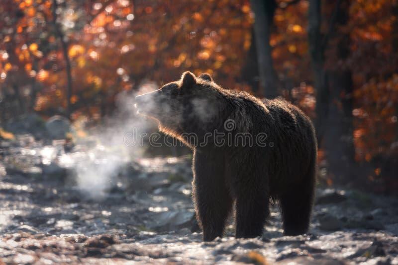 Vintern kommer: Sunny Cold Autumn Morning In berg och stor brunbjörn som från sidan står och ånga som kommer ut ur dess käkar BR royaltyfria foton