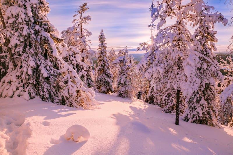 Vintern Sunny Landscape med täckt stor snö sörjer träd - Finland, Lapland royaltyfria foton