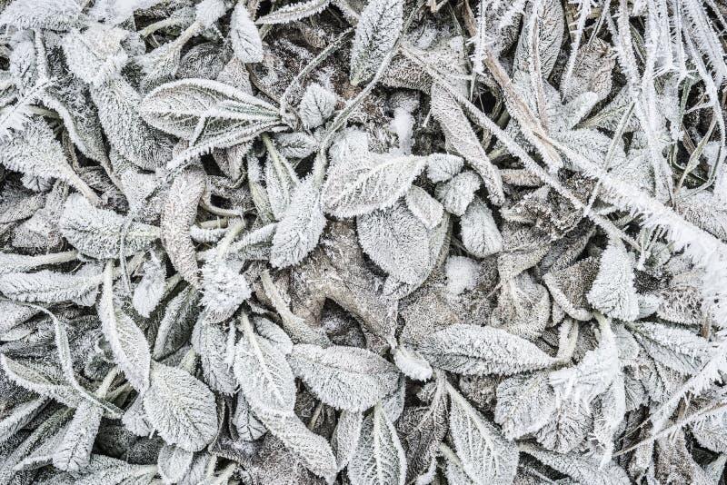Vinternaturbakgrund med sidor av växten som täckas i vitt hoarfrost och bildande för iskristall royaltyfri fotografi