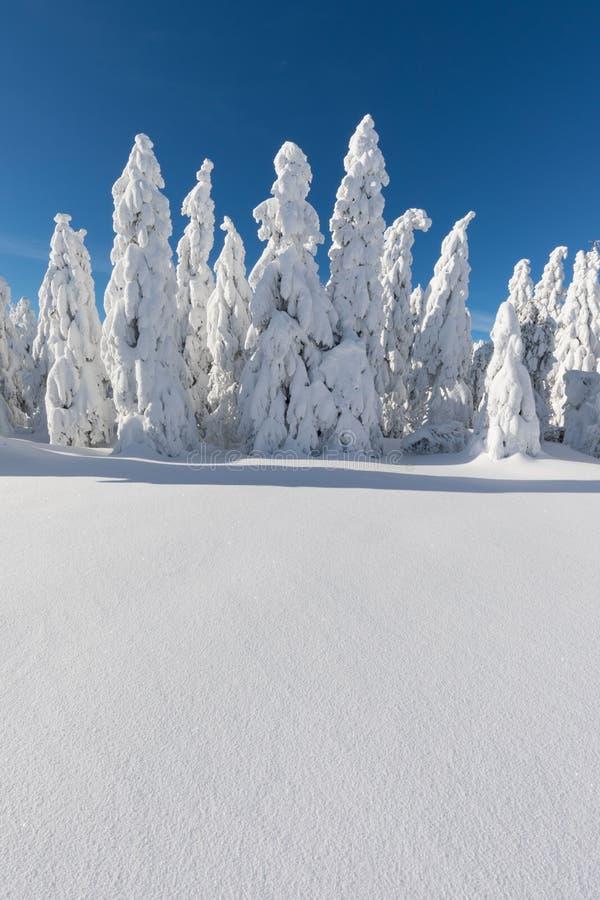 Vinterpanoramalandskapet med skogen, tr?d t?ckte sn? och soluppg?ng vintermorgon av en ny dag arkivbild