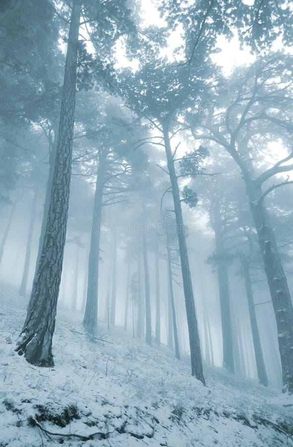 Vinterpinjeskog i mist royaltyfria foton