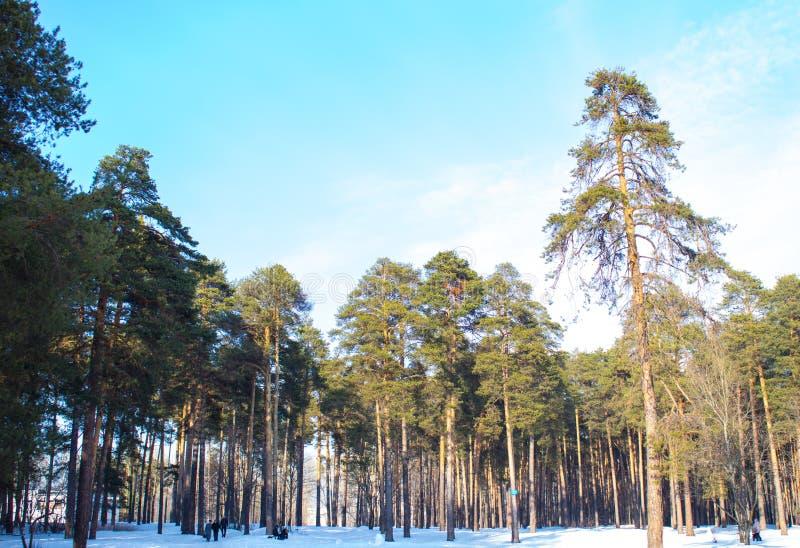 Vinterpinjeskog mot den blåa himlen med moln fotografering för bildbyråer