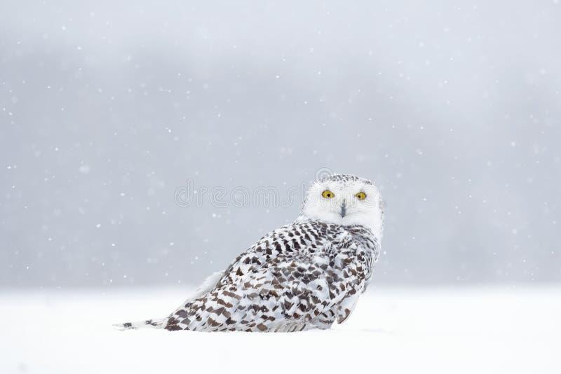Vinterplats med den vita ugglan Snöig uggla, Nyctea scandiaca, sammanträde för sällsynt fågel på snön, snöflingor i vind, Manitob royaltyfri bild
