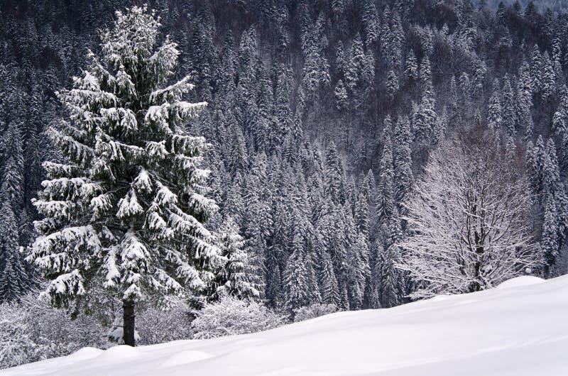 Vinterplats, skog i rumänska Carpathians royaltyfri fotografi