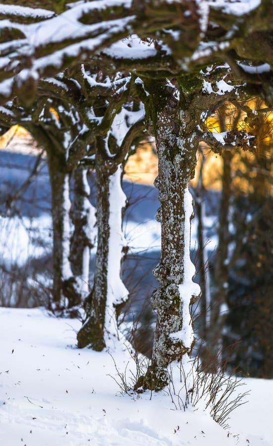 Vinterplats - snöig rader av träd fotografering för bildbyråer