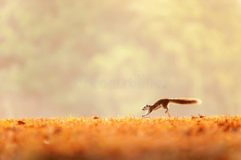 Vinterrörelse, en variabel ekorre som kör i de guld- fälten, ljus soluppgång, vintergröna skogsuddighetsbakgrunder Khao Yai, arkivfoton