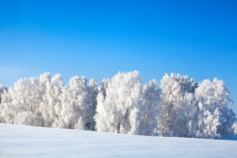 Vintersagalandskap, träd för vit björk som täckas med rimfrostsken i solljus, snödrivor på ljus backgrond för blå himmel arkivfoto