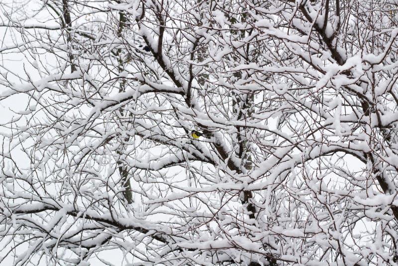 Vintersikten av snöat parkerar skogen med den gula domherren som sitter på trädfilialer royaltyfri foto