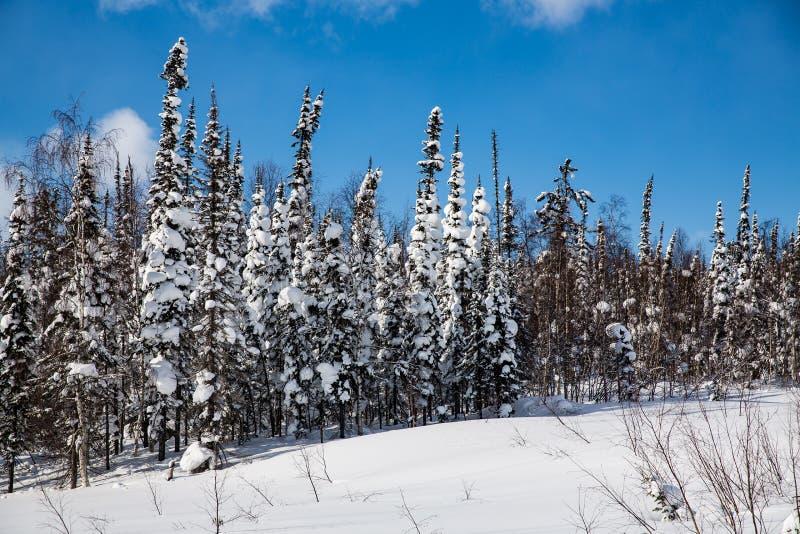 Vinterskog i soligt väder mot en blå himmel fotografering för bildbyråer