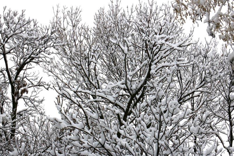 Vinterskog, snown, träd som är molnigt fotografering för bildbyråer