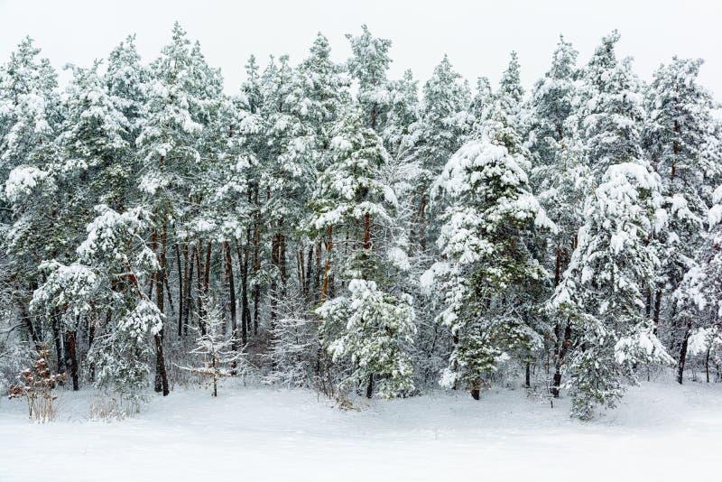 Vinterskogbakgrund fotografering för bildbyråer