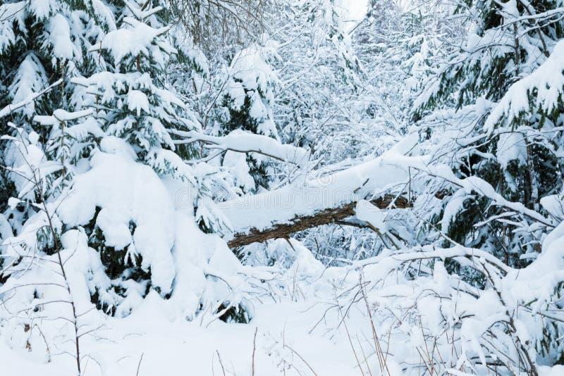 Vinterskogen eller att parkera med det fallande trädet Det härliga vita snöig felika landskapet av den norr naturen för kall fros royaltyfri foto
