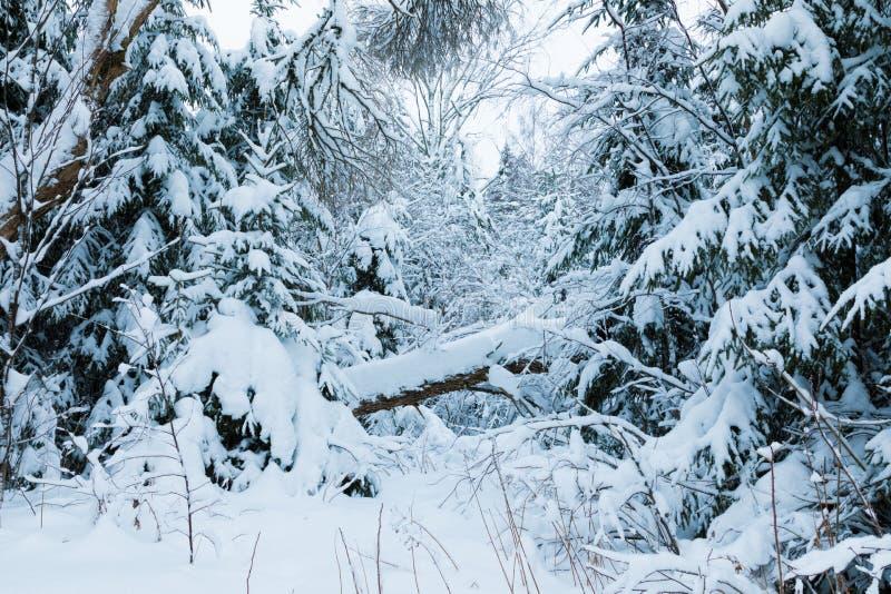 Vinterskogen eller att parkera med det fallande trädet Det härliga vita snöig felika landskapet av den norr naturen för kall fros royaltyfri fotografi