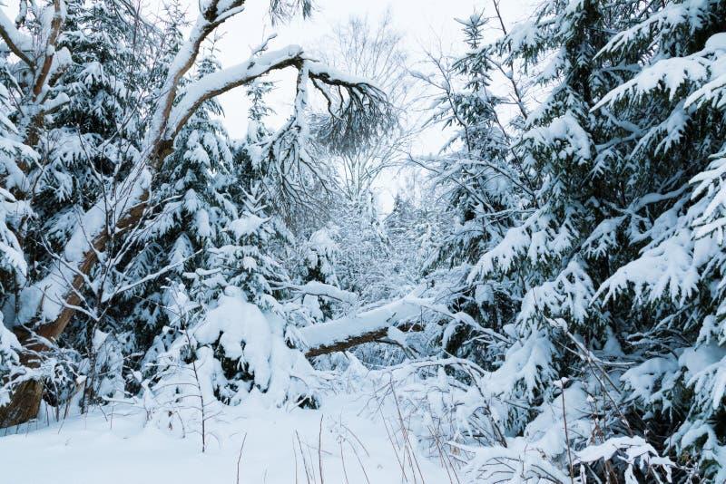 Vinterskogen eller att parkera med det fallande trädet Det härliga vita snöig felika landskapet av den norr naturen för kall fros royaltyfria bilder