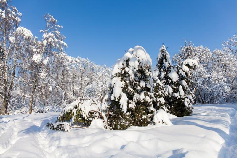 Vinterskogen för den soliga dagen, snö täckte träd mot blå himmel Snöig landskap för kallt säsongväder Snöig xmas-bakgrund arkivfoto