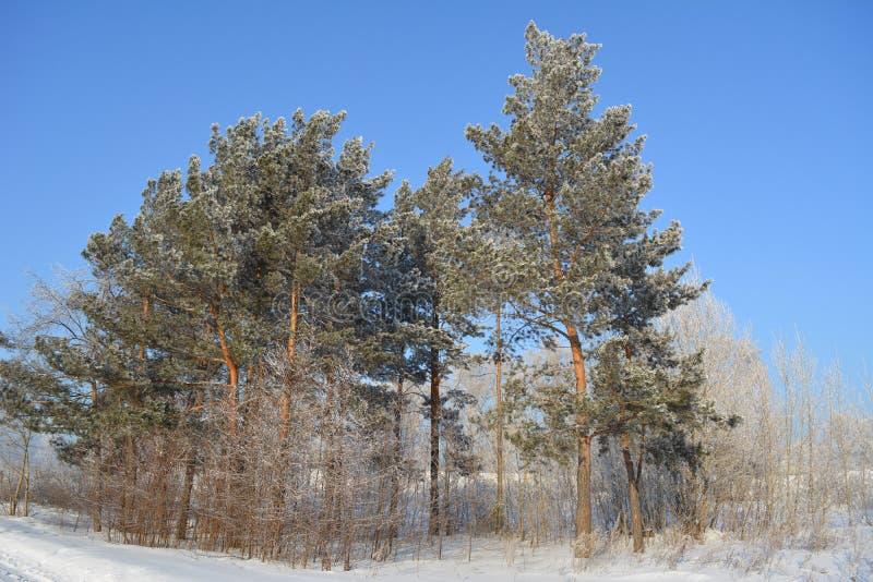 Vinterskogen med sörjer dolt vid snö mot klar blå himmel royaltyfri foto