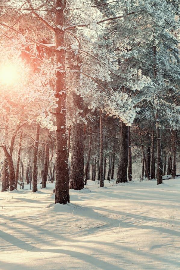Vinterskoglandskap med de frostiga träden för vinter i vintersolnedgång - den färgrika vinterskogen i mjuk tappning tonar arkivbilder