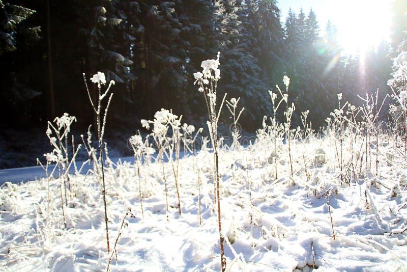 Vinterskoglynne/detalj royaltyfri foto