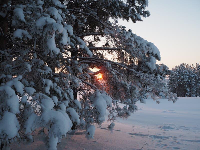 Vintersolnedgången som in skiner, sörjer trän royaltyfri bild