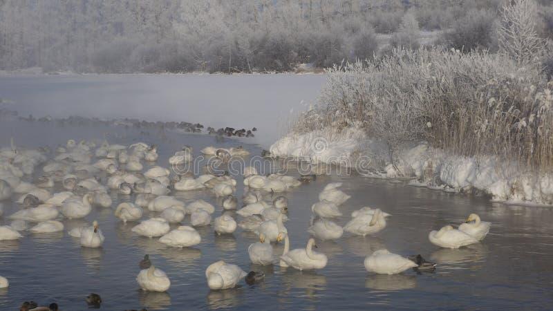Vintersvan sjö Fog&Sunshine arkivfoto