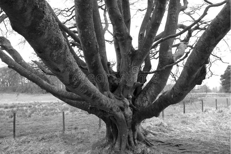 Vinterträd med mass av filialer arkivbild