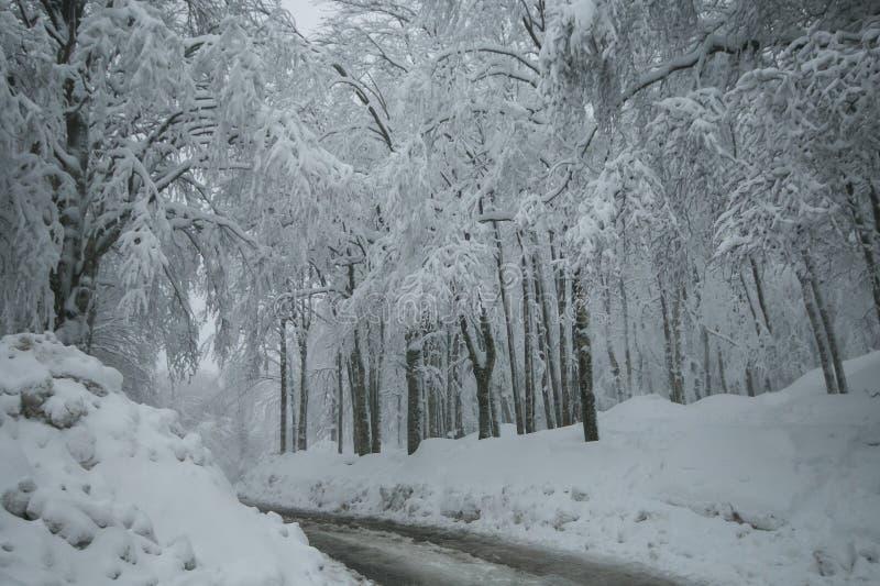 Vinterunderland: härlig skog med många insnöad montering Amiata, Tuscany royaltyfria bilder