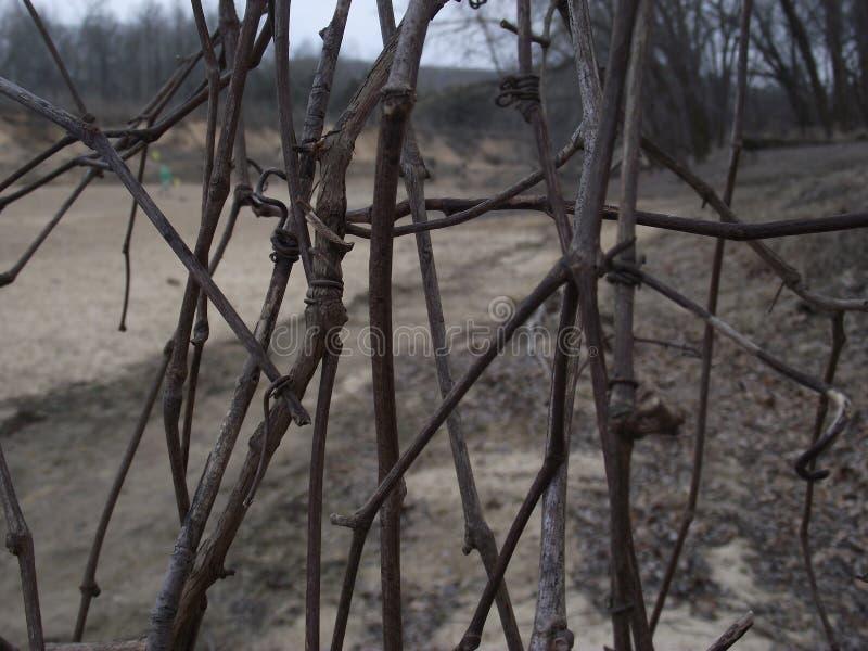 Vintervinrankor fotografering för bildbyråer