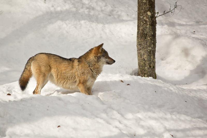 vinterwolf royaltyfri bild