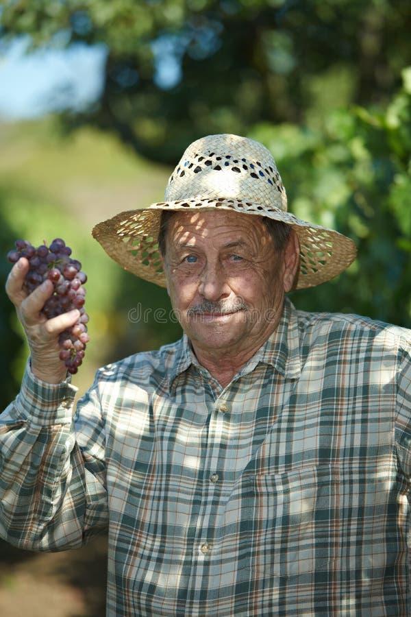 vintner d'esame dell'anziano dell'uva fotografie stock libere da diritti