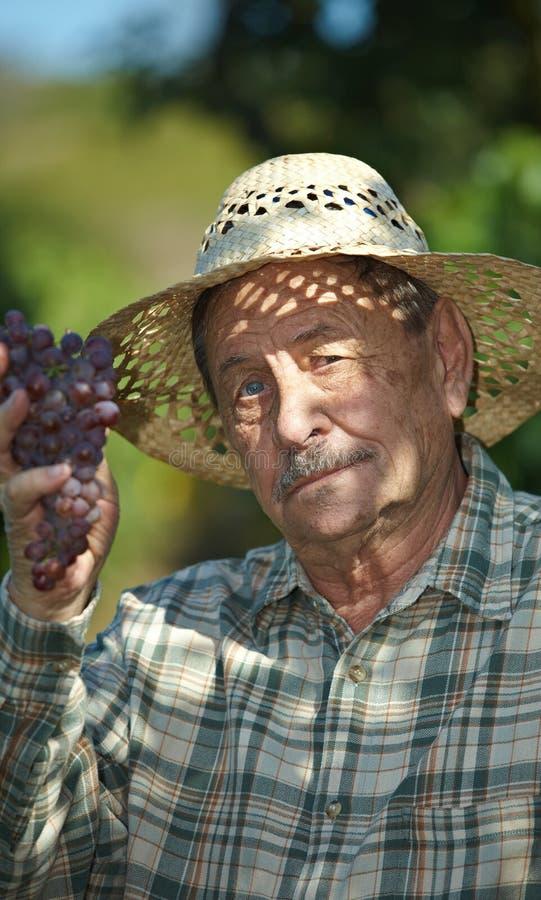 vintner d'esame dell'anziano dell'uva fotografie stock