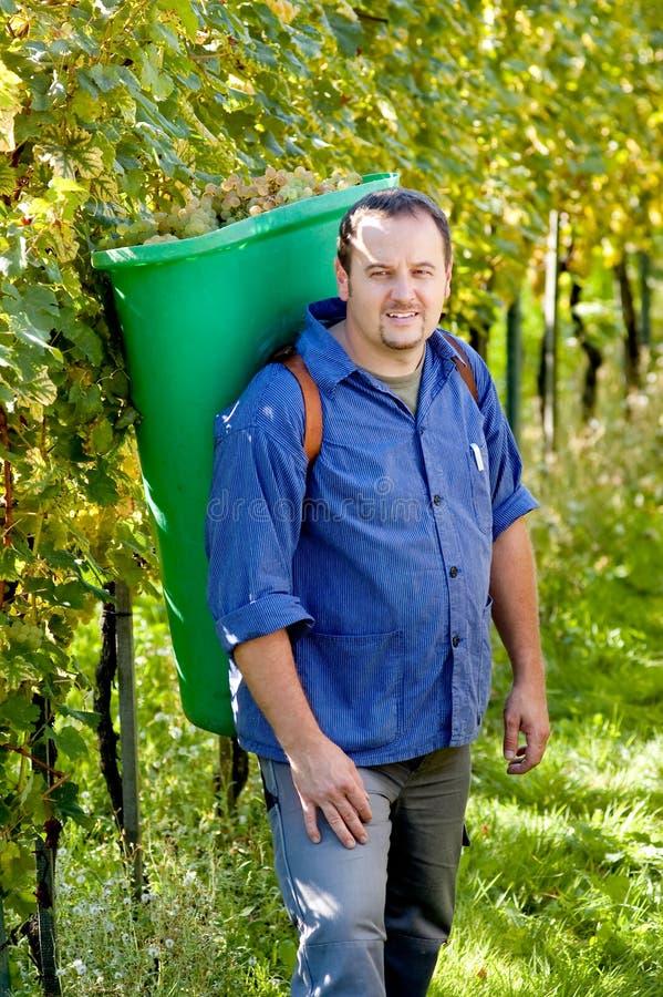 Vintner dans le wineyard image stock