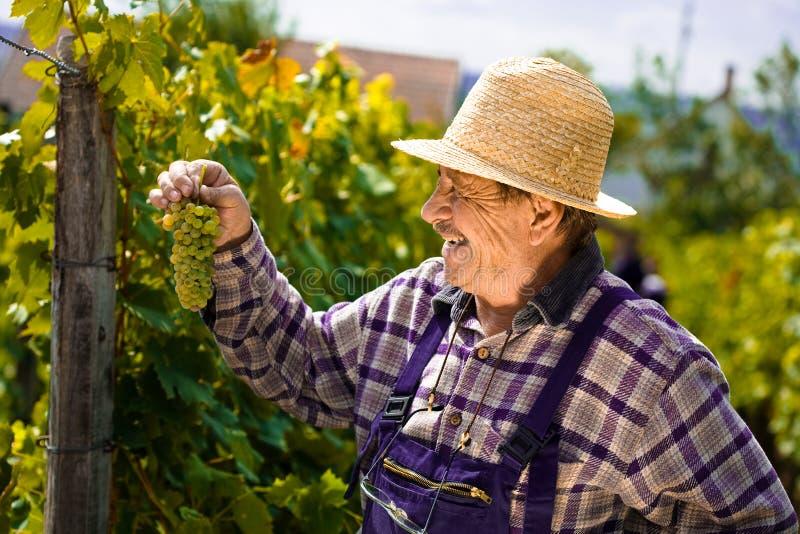 Vintner examining grapes royalty free stock photos