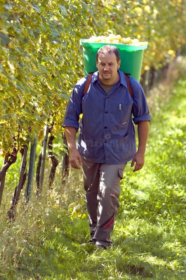 Download Vintner During The Harvest stock image. Image of vine - 21602645