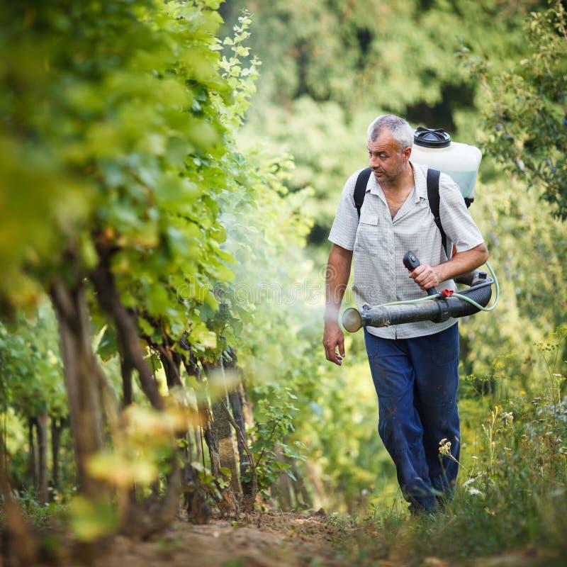 Vintner  in his vineyard spraying chemicals