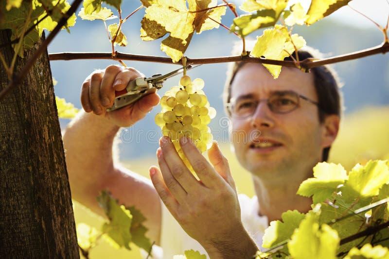 Vintner moissonnant des raisins images libres de droits