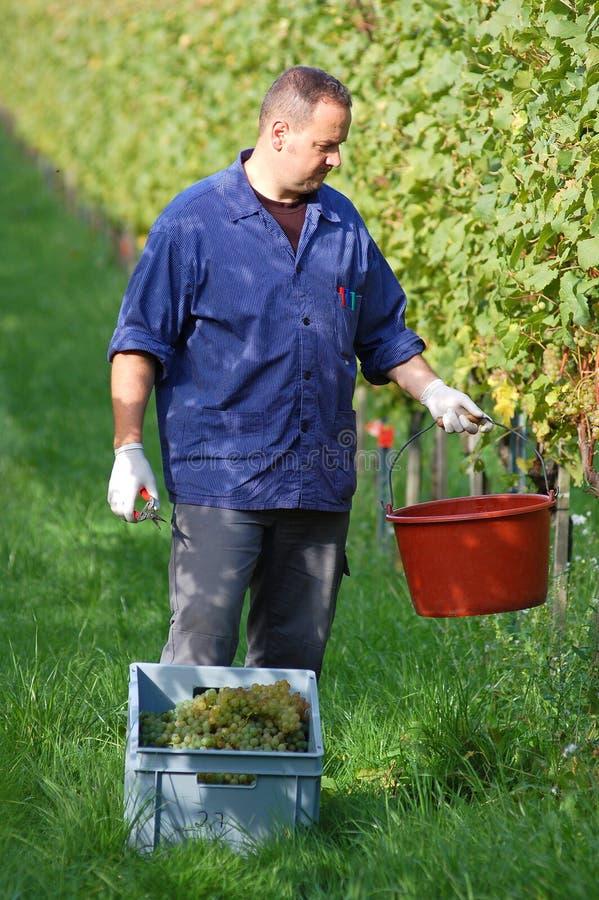 Vintner in the vineyard stock image