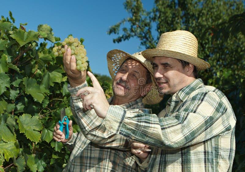 vintners d'esame dell'uva fotografie stock