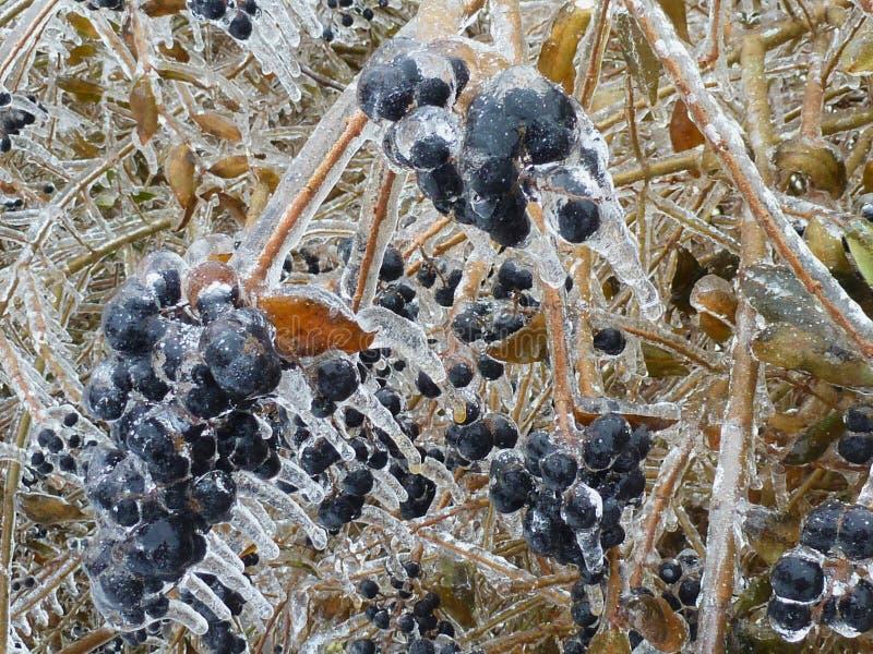 Vintrig plats av den djupfrysta busken med blåa bär och gula sidor arkivbild