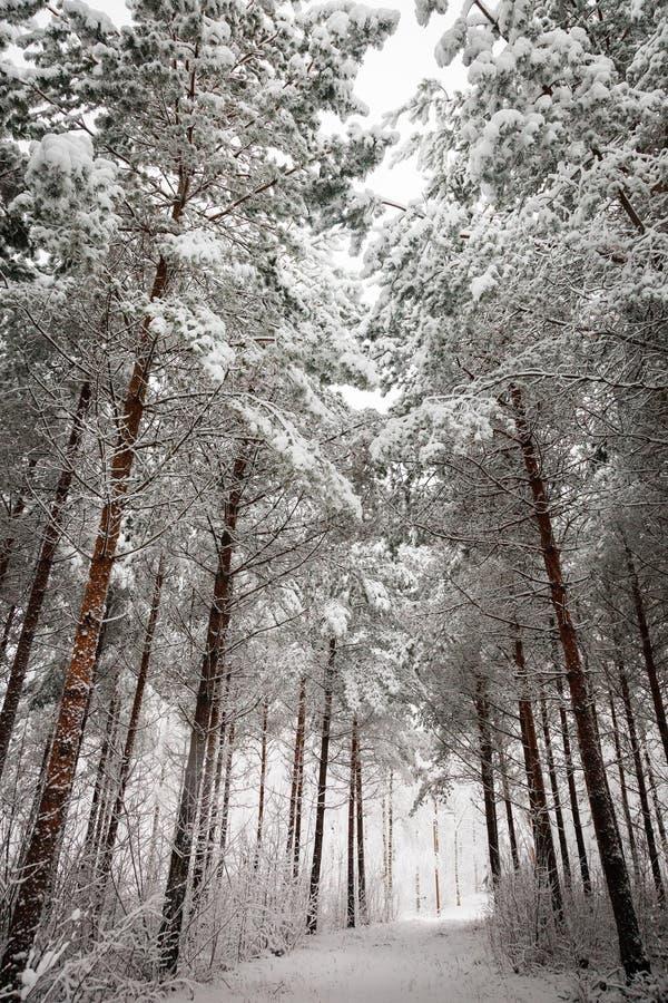 Vintrig väg under de snöig träden royaltyfri fotografi