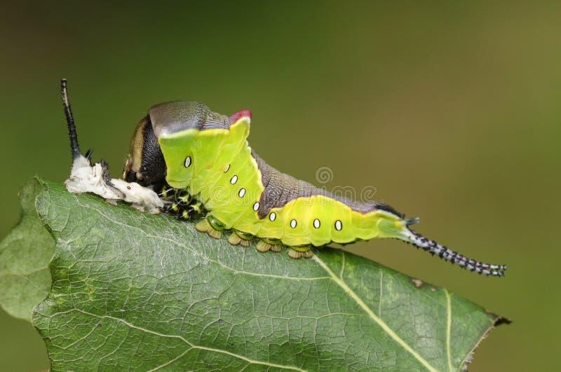 Vinulais Cerura гусеницы сумеречницы Puss отдыхая на tremula Populus лист дерева Aspen в полесье сразу после оно полиняет свой s стоковая фотография rf