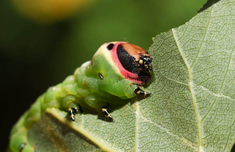 Vinulais di Caterpillar un Cerura del lepidottero del micio che mangiano un populus tremula della foglia dell'albero di Aspen in  fotografia stock libera da diritti