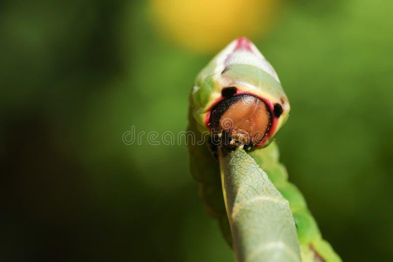 Vinulais di Caterpillar un Cerura del lepidottero del micio che mangiano un populus tremula della foglia dell'albero di Aspen in  fotografie stock