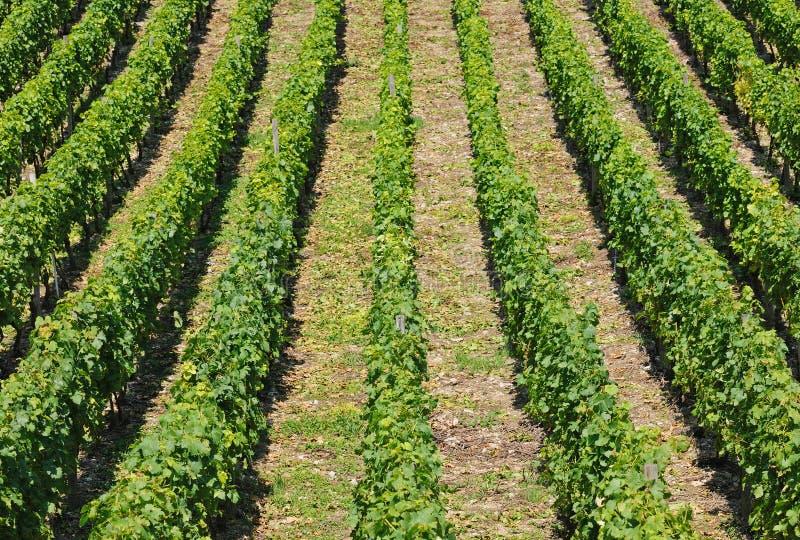 vinyard стоковые изображения