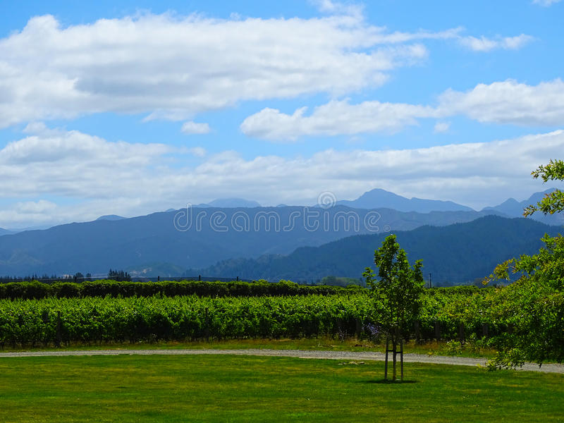 A vinyard in Blenheim, New Zealand royalty free stock photo