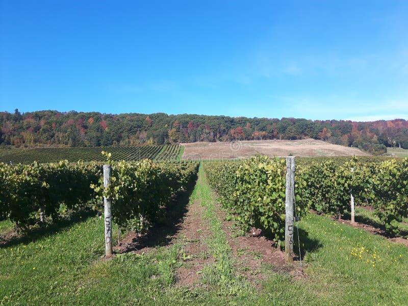 Vinyard. Canada, novascotia, wine, red stock photos