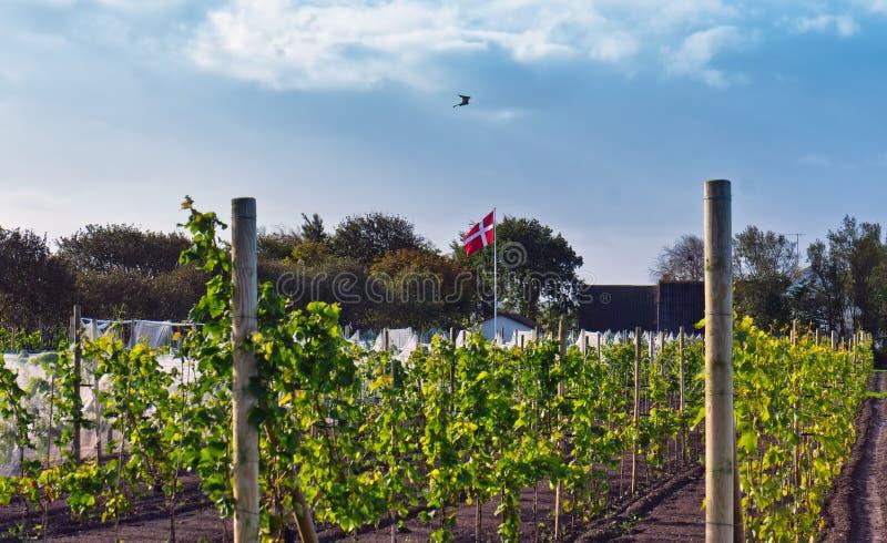 Vinyard in Denmark. Cold climate Vinyard in Denmark before Harvest time stock photo