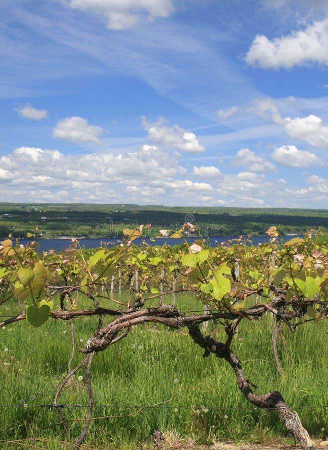 Vinyard, effectuer de vin image libre de droits