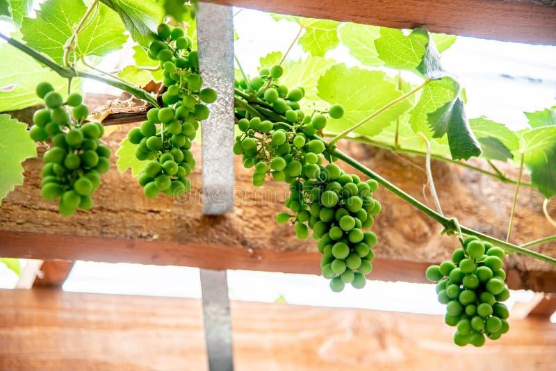 Vinyard and grape hang on timber ceiling. Vinyard and green grape hang on timber ceiling royalty free stock photos