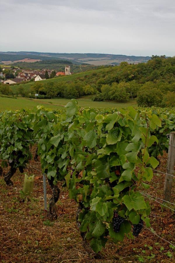 Vinyard at Irancy, Burgundy, France. A view of the vinyard at Irancy, Burgundy, France stock image